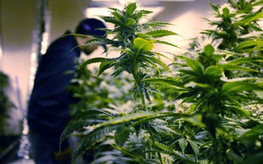 getting new york marijuana legalization rolling is a 'priority' new governor's office says Getting New York Marijuana Legalization Rolling Is A 'Priority' New Governor's Office Says cannabis new york news 525x328 cannabis businesses for sale - biz4less Cannabis Businesses for Sale – Biz4Less cannabis new york news 525x328